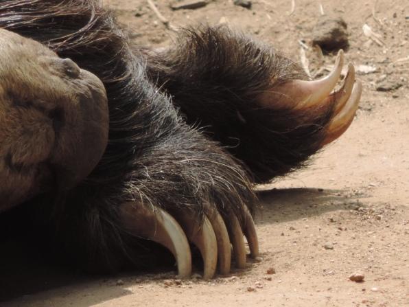 Asian Bear Close-up