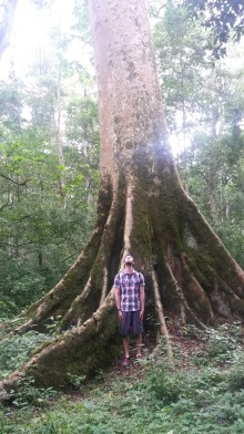 Giant Fig tree
